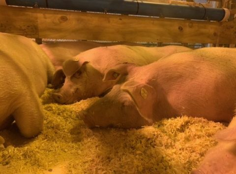 Image showing three pigs in a barn area sleeping